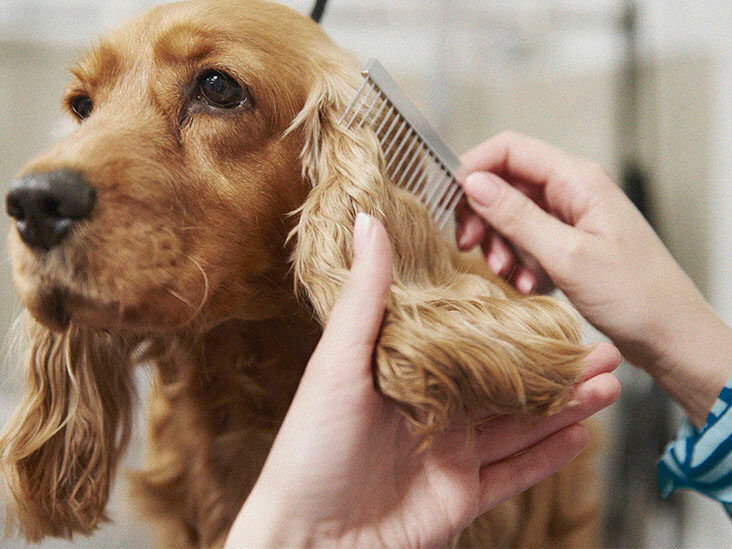 cockerspaniel ears being combed with flea comb