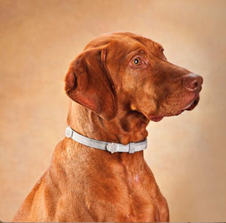dog wearing flea and tick collar