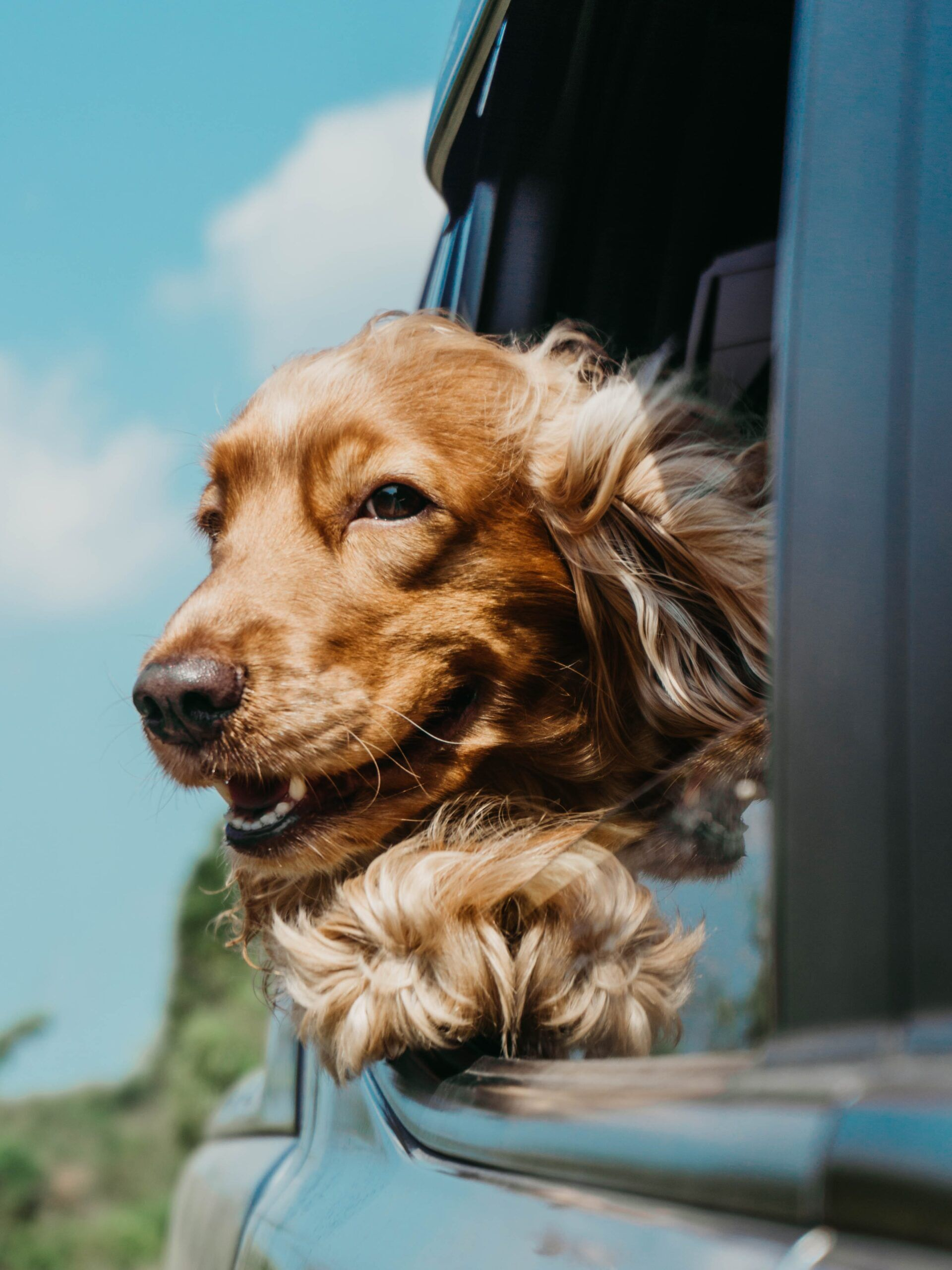 dog's head out of window while riding in car