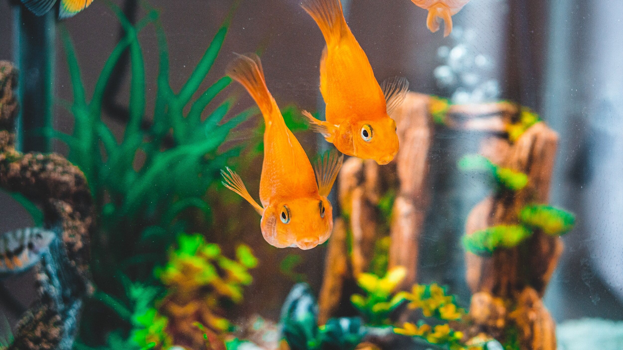 two gold-colored fish in fish tank