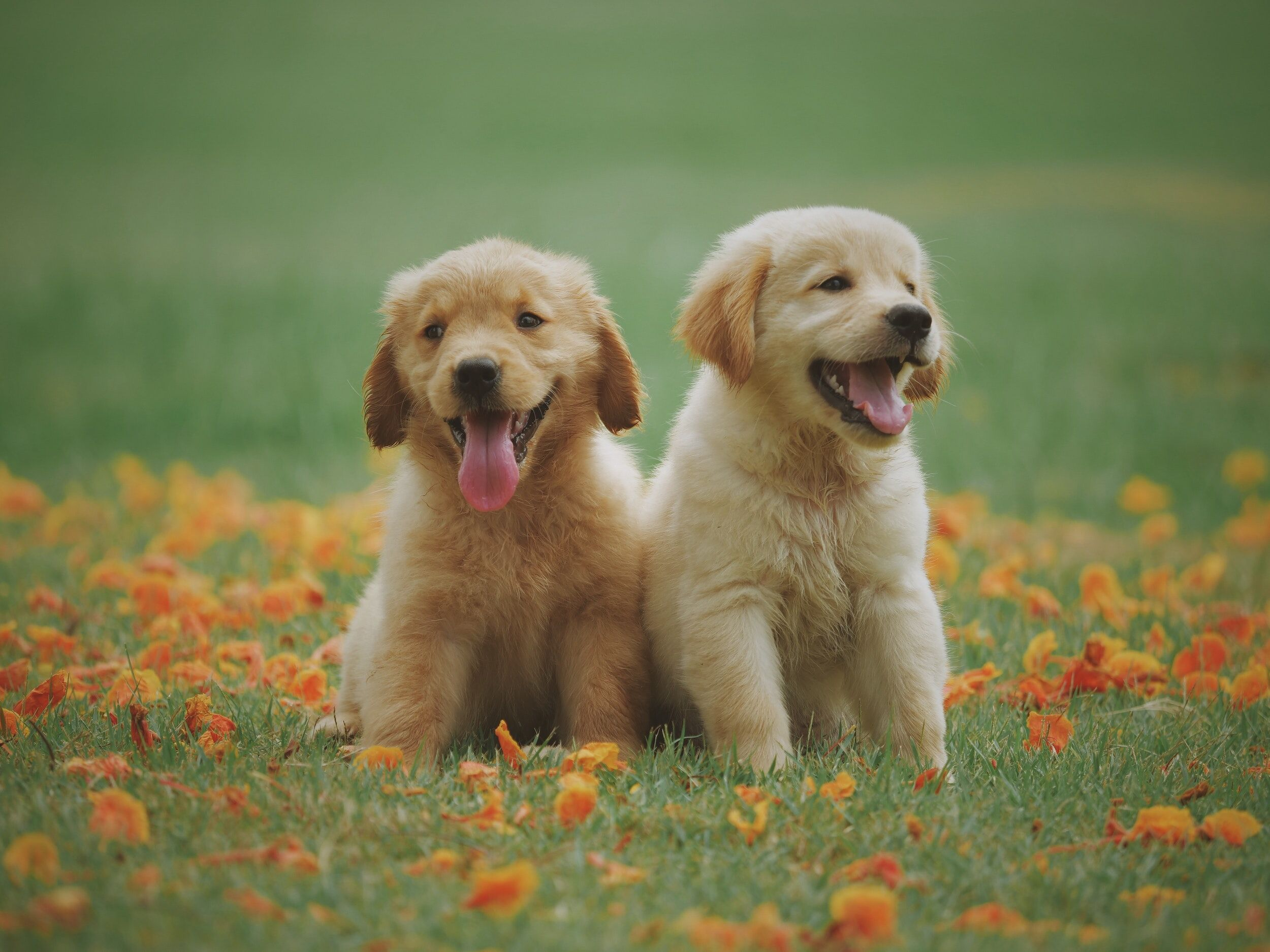 sibling puppies sitting in grass side by side