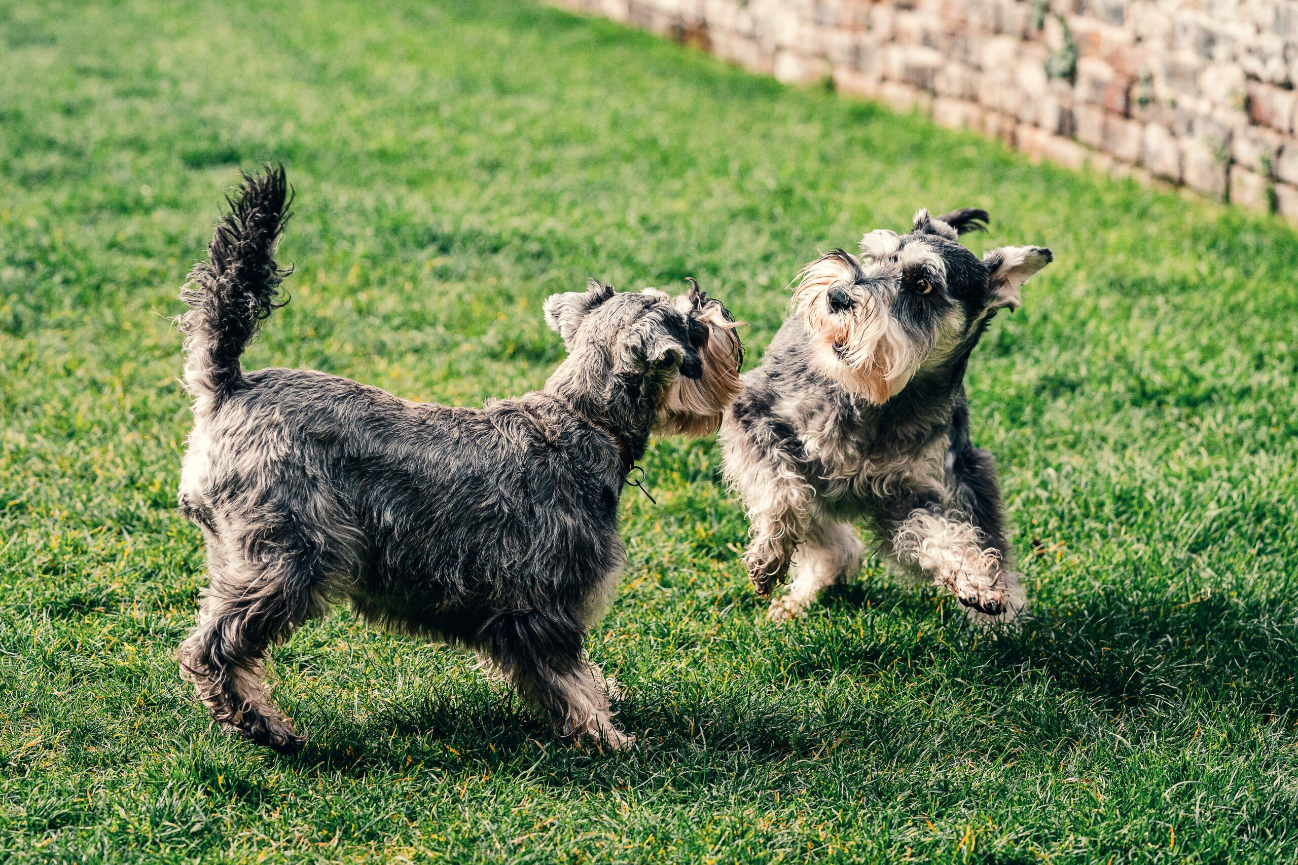 two dogs playing at park together